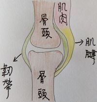 肌腱 韌帶 Tendons and ligaments