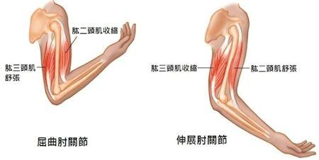 手臂結構圖